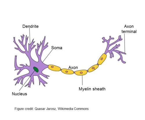 Nerve Signaling