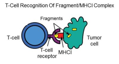 T-Cell Recognition Of MHCI Complex