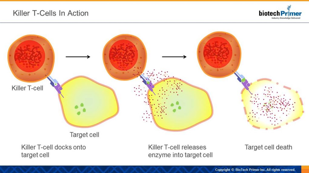 killer-t-cells-in-action