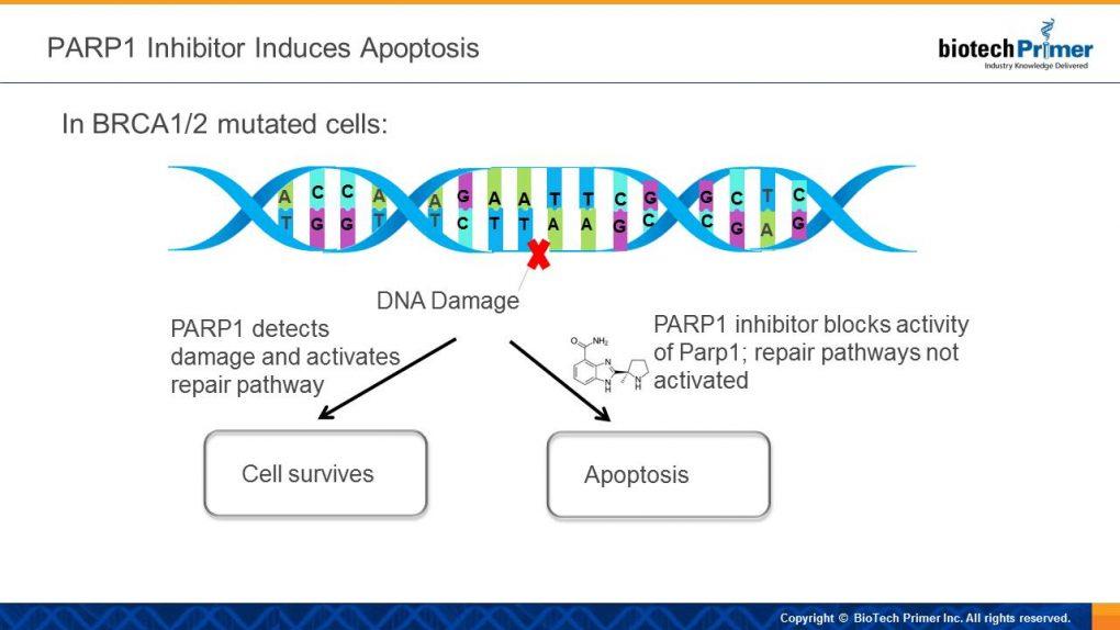 PARP1 inhibitor MOA