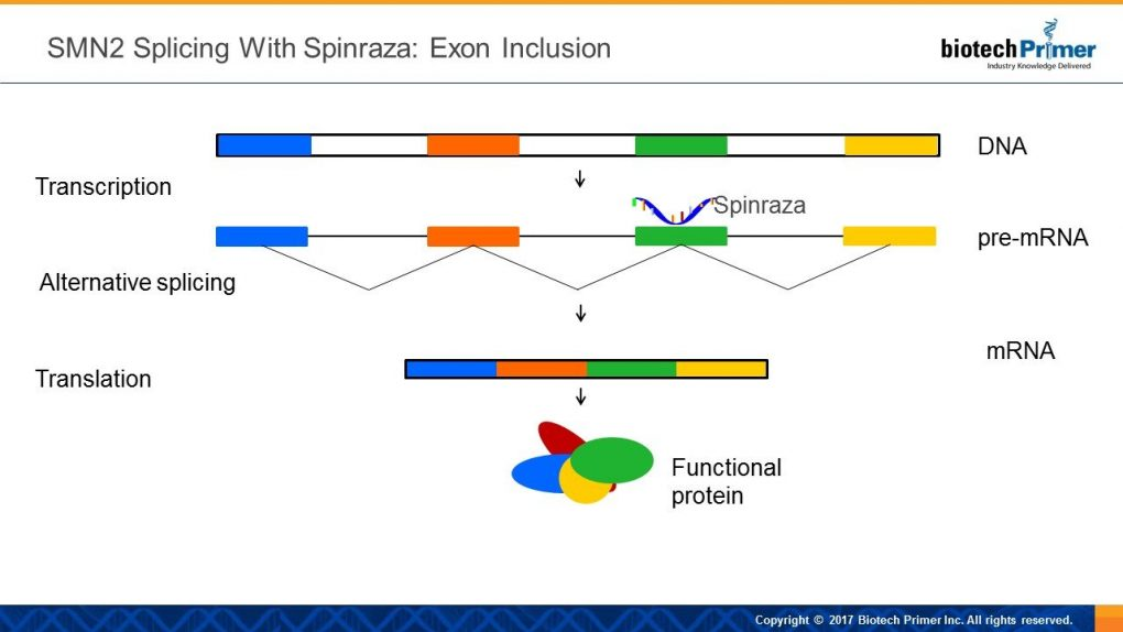 SMN2 splicing with spinraza