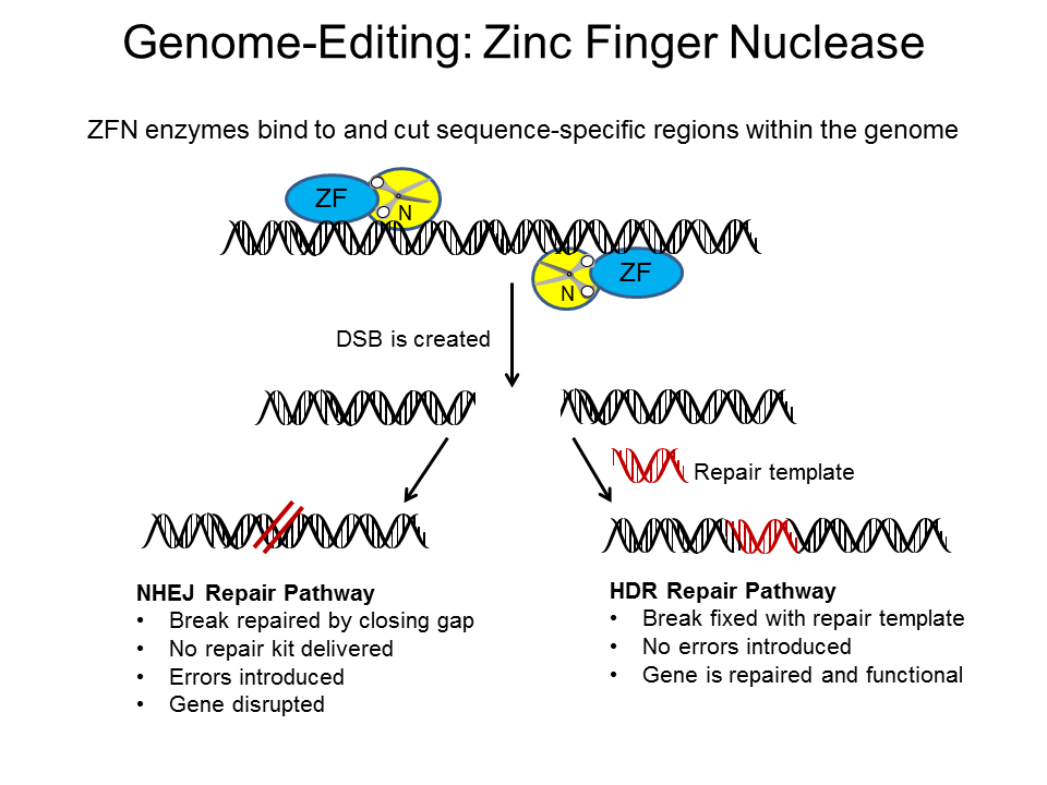 zinc finger nucleases for somatic gene therapy Targeted genome editing using engineered zinc finger nucleases by: somatic cells, in which the through gene therapy zinc finger nuclease technology promises.