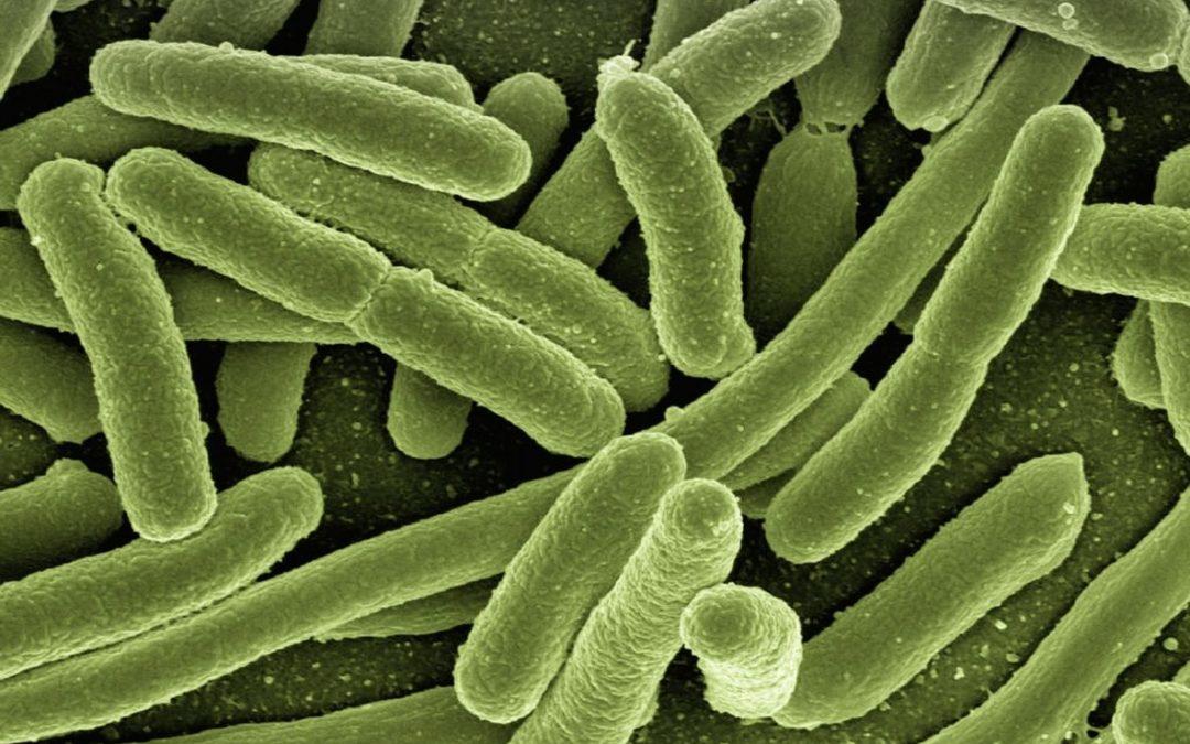 koli bacteria